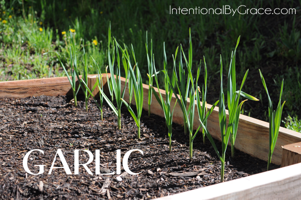 Growing garlic is so easy! | IntentionalByGrace.com