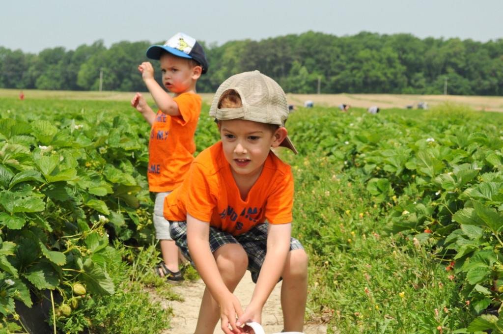 Strawberry Picking 2015-15